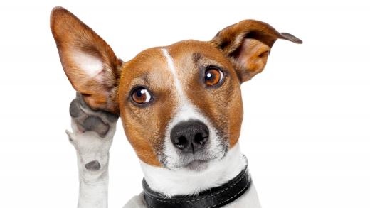 Výcvik hluchých psů s elektronickým obojkem. Jde to? A jak? - Reedog.cz ®