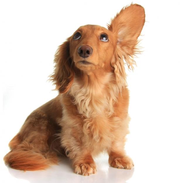 Jak pečovat o oči a uši psů nebo koček? - Reedog.cz ®